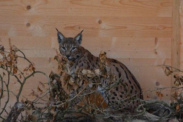 Mona la femelle lynx devrait être relâchée à l'automne dans le Jura.