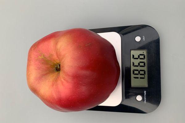 La pomme, cueillie lundi 5 octobre à Cottenchy, perd un peu de masse de jour en jour.