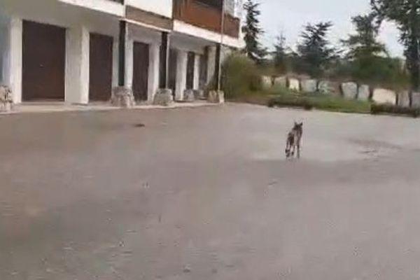 Le louveteau a été aperçu dans la station de Valberg dans les Alpes-Maritimes