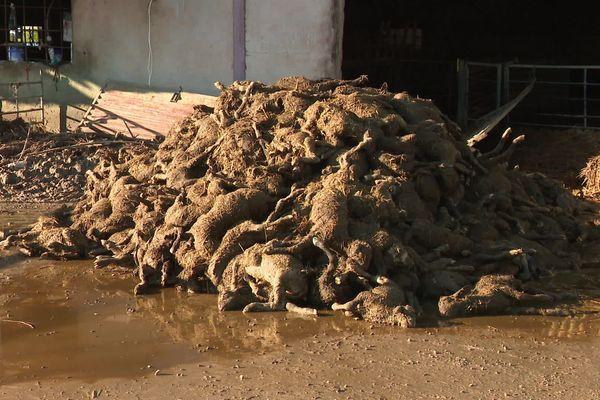 Des tas de carcasses de Brebis, voilà les conséquences des inondations de dimanche après-midi dans cette exploitation du Vaucluse.