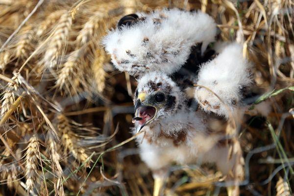 Les busards ont la fâcheuse habitude de faire leur nid au sol, se mettant à la merci des moissonneuses-batteuses.