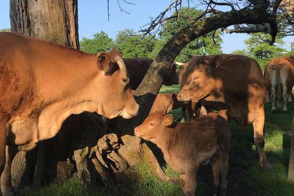 Des vaches charolaises à Orçay dans le Loir-et-Cher dans la ferme des sœurs Gorin.