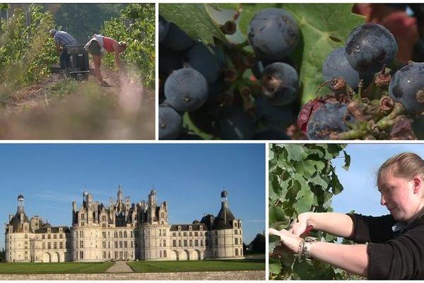 (Archive )Première récolte des cépages rouges de pinot noir et de Gamay plantés en 2015 au Domaine de Chambord. Les vendanges sont réalisées par une dizaine de bénévoles et d'employés de Chambord.