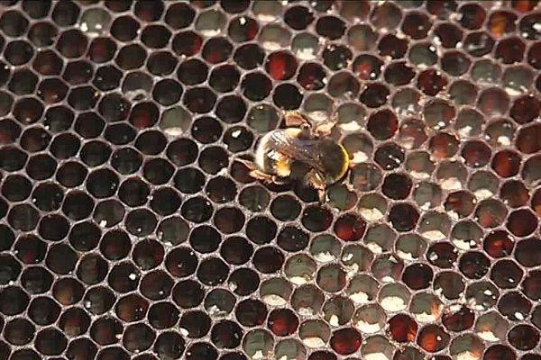 Les abeilles ont besoin de nectar pour remplir les alvéoles de leur ruches