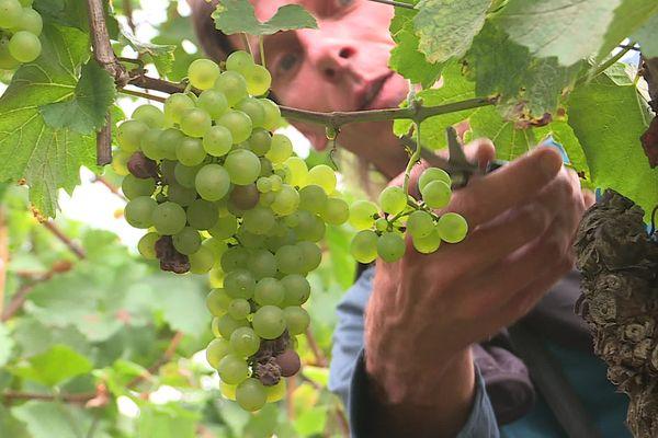 Les vignes n'ont pas eu le rendement escompté cette année.