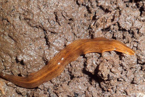 """Le ver de terre """"Obama nungara"""" est une espèce invasive originaire du Brésil."""