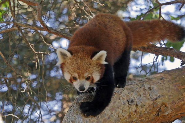 La femelle panda roux Mushu a donné naissance a un bébé, dimanche 9 juin, au parc animalier d'Auvergne.