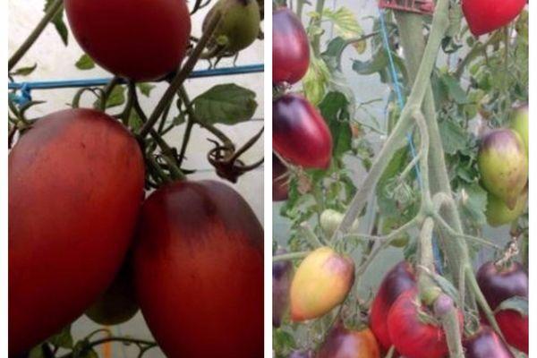 La nouvelle variété de tomate baptisée par les Américains la Pascal de Picardie.