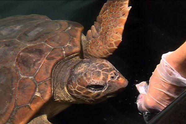Cette tortue Caouanne blessée est nourrie par les soignants après avoir ingéré du fil de pêche.