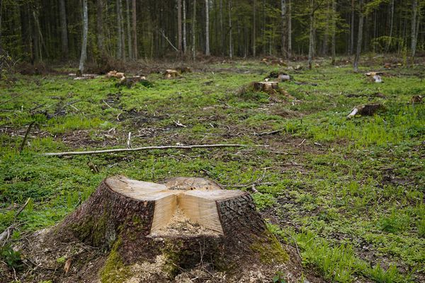 Six hectares de forêt pourraient être rasés pour replanter du douglas.