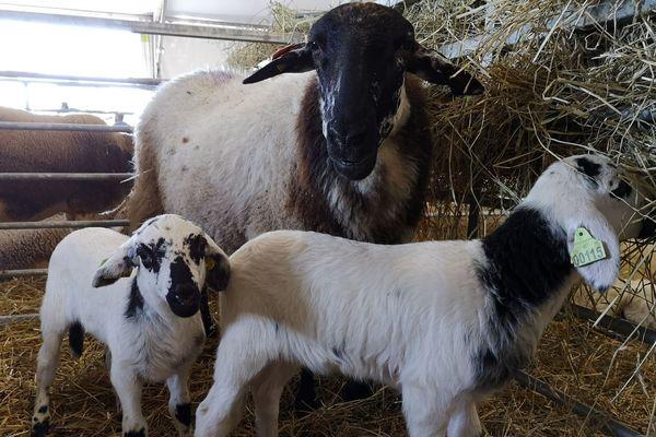 Une brebis et deux agneaux de la race Rava, race rustique du Massif Central.