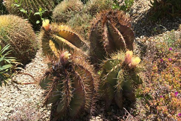 Les cactus, habitués au climat désertique, sont en fleurs au printemps.