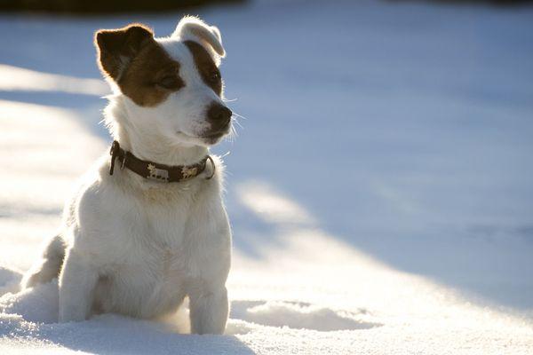 Un jack Russel dans la neige (photo d'illustration)