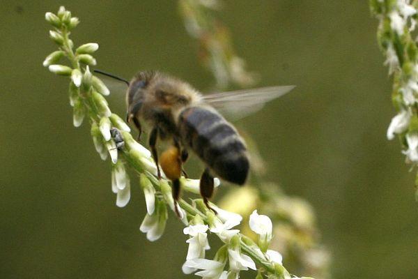 Les abeilles sont des pollinisatrices de premier plan, indispensables à notre écosystème.