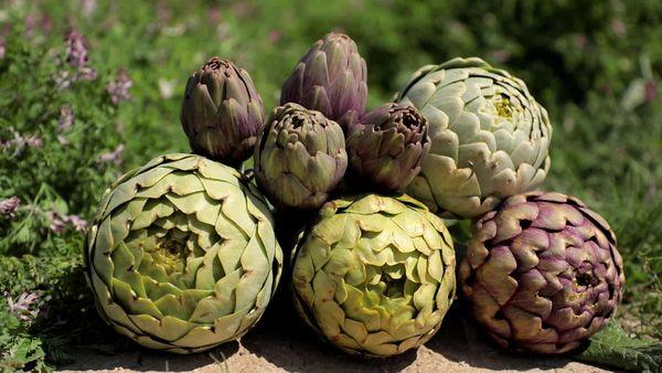 Les 5 variétés d'artichauts catalans reconnus par l'Indication géographique protégée.