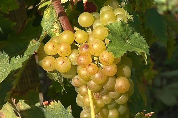 Dans le secteur de Die, le raisin attend les vendangeurs