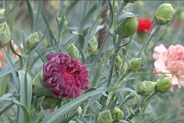 L'œillet, fleur niçoise par excellence