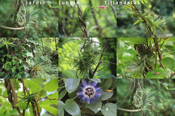Le Jardin Jungle Karostachys