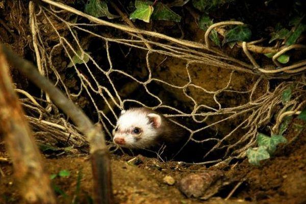 Le furet est utilisé pour capturer les lapins.