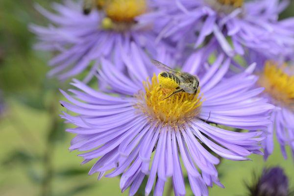 Megachile sur aster