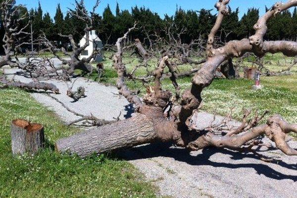 Les mûriers abattus sur l'ancien camping municipal de St Cyprien