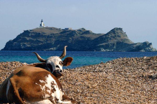 ILLUSTRATION - La typicité du cap Corse avec en toile de fond l'île de Giraglia (Haute-Corse)