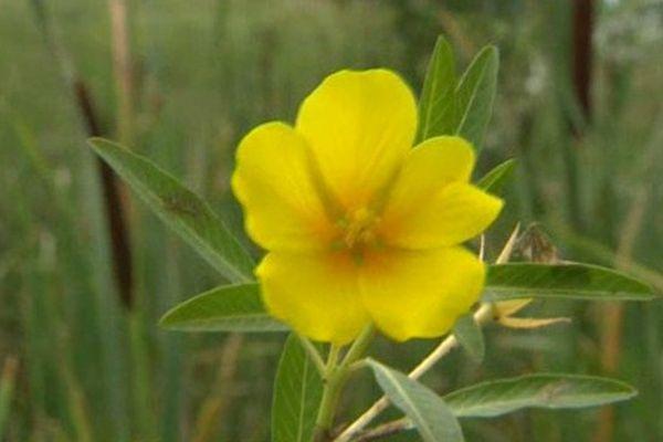 La jussie, une plante très envahissante