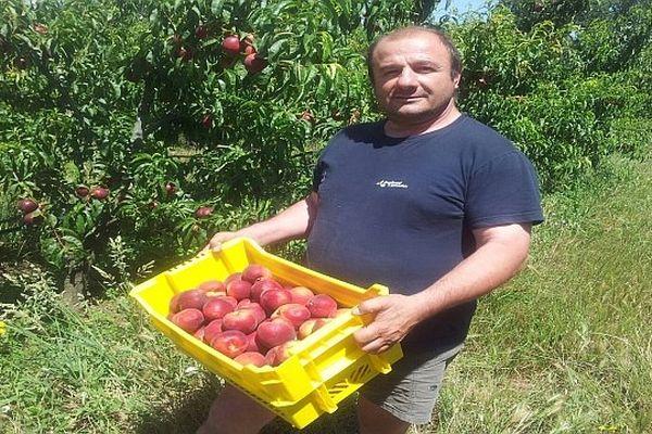 Laroque-des-Albères (Pyrénées-Orientales) - les producteurs de nectarines récoltent les premiers fruits - 21 juin 2013.
