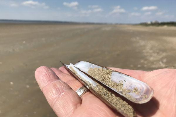 Un couteau ou solen au milieu de centaines de milliers d'autres échoués sur la plage Saint-Brévin-les-Pins en Loire-Atlantique, tranchant comme un rasoir