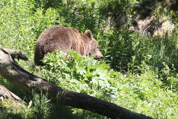 L'ours et le pastoralisme, une difficile cohabitation - image d'illustration