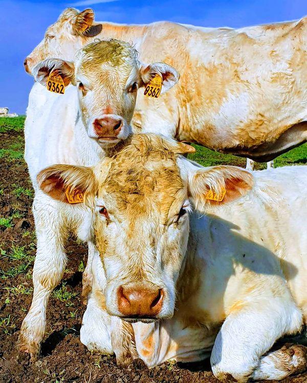 Dans sa ferme, Julie Cadiot élève une soixantaine de vaches par an.
