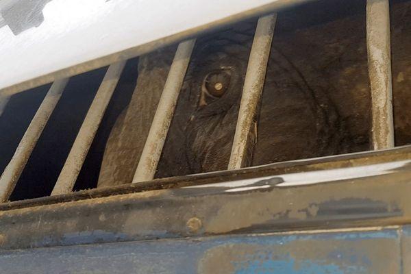 Dumba, l'éléphante enfermée dans sa remorque - 4 janvier 2021.