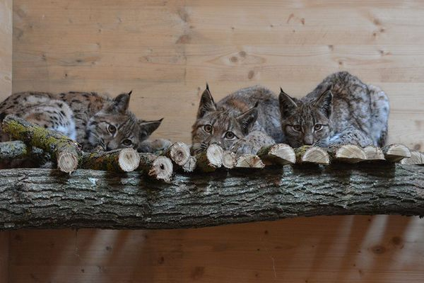 Trois lynx orphelins en novembre 2019.