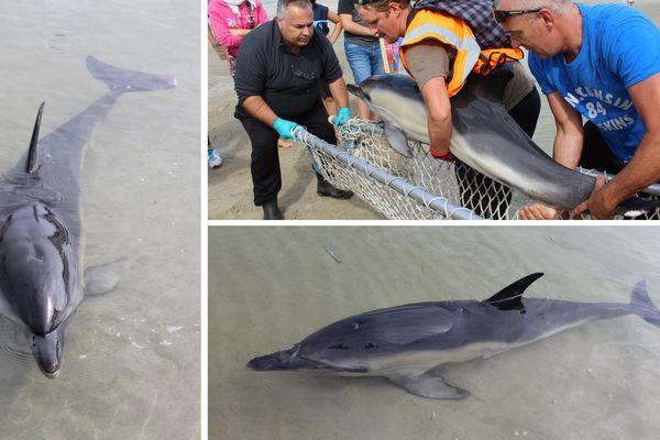 Le dauphin, transporté à 2 miles de la côte, a tout de suite pris le large.