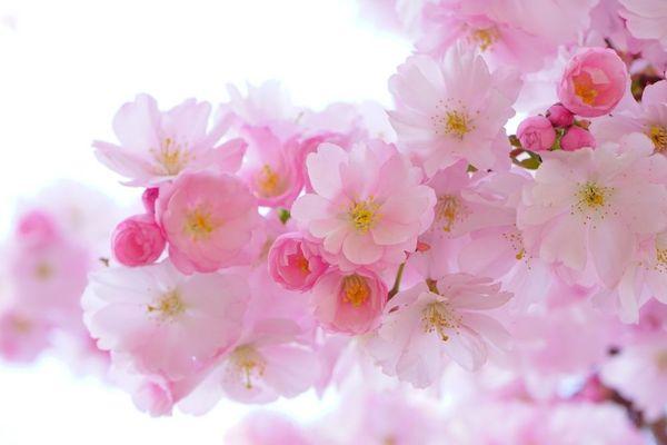 Cerisier du japon en fleur