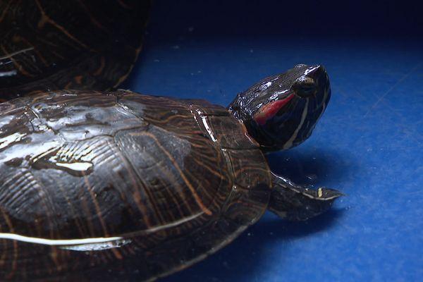 La tortue de Floride est considérée comme une espèce invasive.