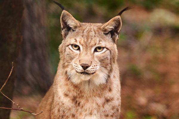 Un lynx nous fixant du regarde.