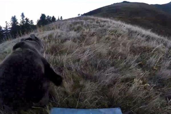 L'ourse Claverina à la sortie de la caisse qui l'a déposée dans les Pyrénées.