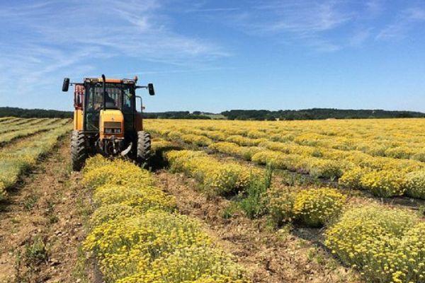 7,5 hectares de champ d'hélichryse ont été plantés en 2014 à Saint-Sulpice