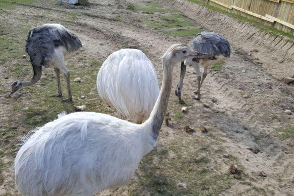 Les nandous du parc animalier d'Ecouves