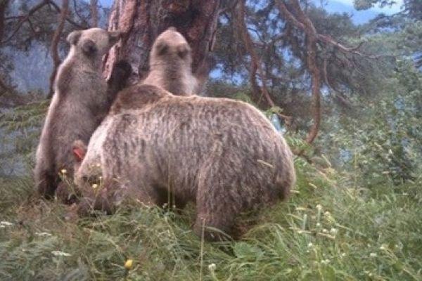L'ourse Hvala et ses deux oursons de l'année