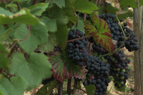 Les vignes n'ont pas été épargné par le gel et les précipitations cette année.