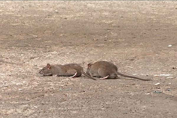 Les riverains sont excédés,à bout de nerfs... Les rats sont trop nombreux dans le quartier des Liserons