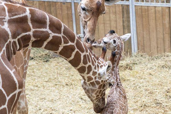 La petite nouvelles chez les girafes du zoo de Beauval, Kimia.