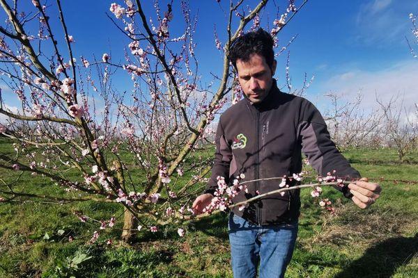 30 % des abricotiers de François Beneteau, pépiniériste, sont en période de floraison.