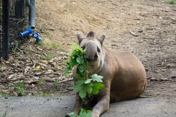 Le tapir, espèce proche des équidés et des rhinocéros, est strictement herbivore.