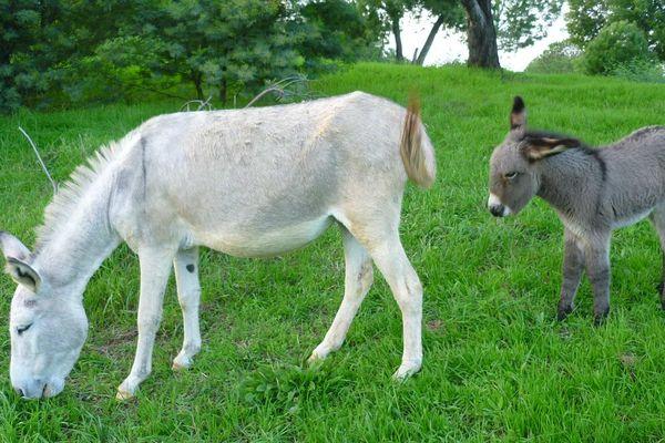 Les parents du petit ânon, Riri et Fifi, sont les ânes débroussailleurs de la commune