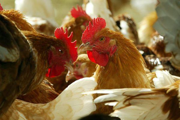 Grippe aviaire - Périmêtre de sécurité levé en Vendée