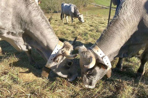 """Saint-Benoît (Aude) - le bruit des cloches de ces vaches gasconnes """"dérangent"""" des retraités voisins du pâturage. Ils ont porté plainte pour nuisance sonore - 2019."""