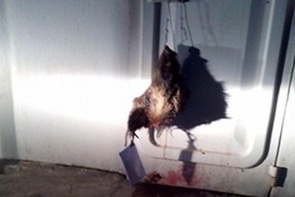 09/01/15 - Une tête de sanglier a été découverte accrochée à la porte d'une salle de prière musulmane à Corte (Haute-Corse)